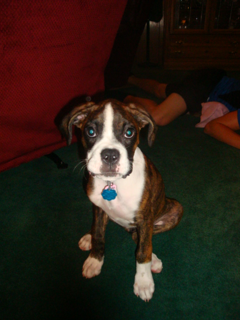 Boxer Puppies For Sale In Louisiana >> Toledo Bend Boxers, Boxer puppies for sale in Louisiana, Negreet, LA