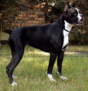 Toledo Bend Boxers Boxer Puppies For Sale In Louisiana Negreet La